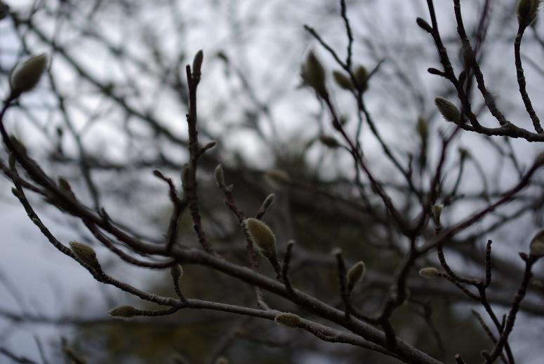 こぶしの芽