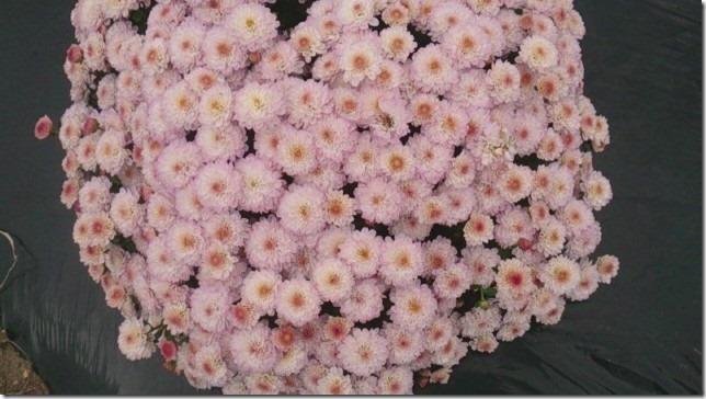 小菊の里、開花状況 (H26/10/11)