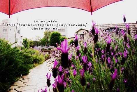 lavender_20120515232413.jpg