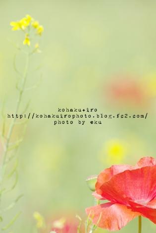 nanohana_20120523235727.jpg
