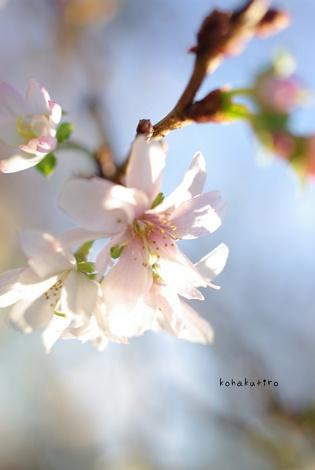 sakura2_20121203163136.jpg