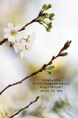 sakura_20121019225247.jpg