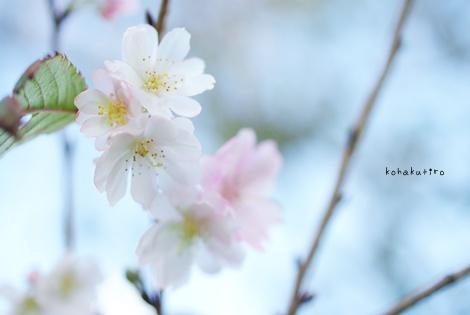 sakura_20121203162731.jpg