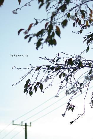 sakuraki2.jpg