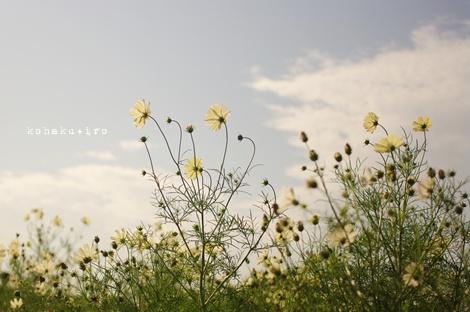 sirohatake.jpg