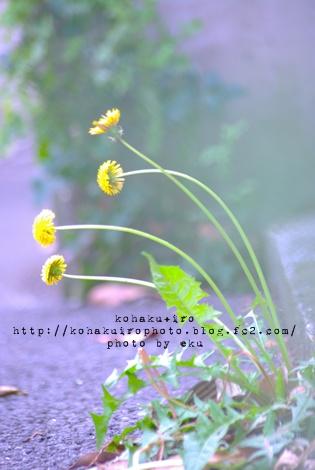tanpopo_20120510144537.jpg