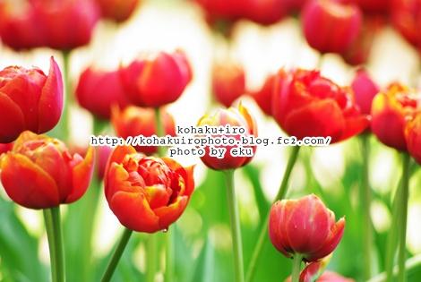 tulipaka2.jpg