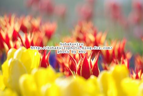 tulipakaki.jpg