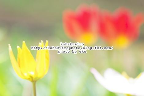 tulipakasirokiiro.jpg
