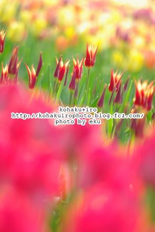 tulipakatongari.jpg