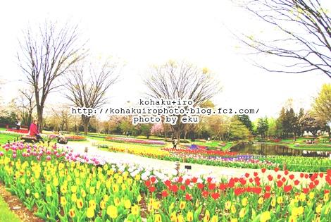 tulipiro2.jpg
