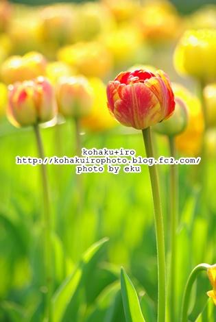 tulipkimaru2.jpg