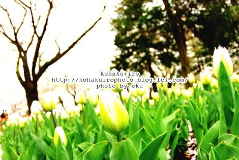 tulipsiro.jpg