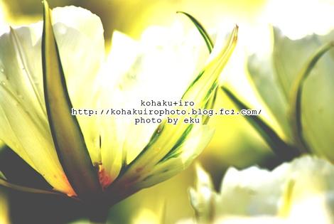 tulipsiro_20120426102217.jpg