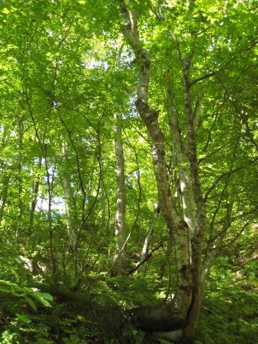 白神山地 ブナの原生林