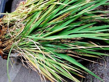 古代米収穫③ 川越KOME山田屋