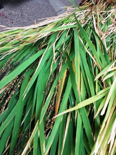 古代米収穫① 川越KOME山田屋