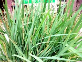 裏庭の苗『黒米(古代米)』 103日目①