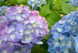 0626紫陽花1