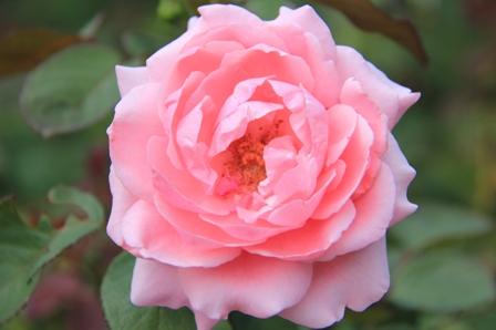 IMG_0110-cp-rose1.jpg