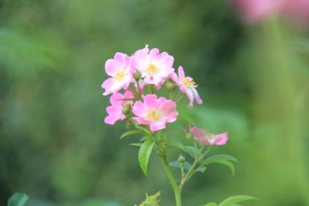 IMG_0118-rose1-1.jpg