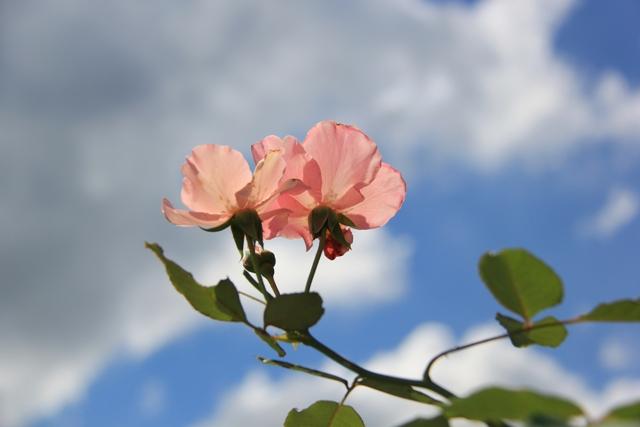 IMG_0120-rose2.jpg