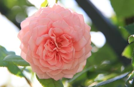 IMG_0124-rose4.jpg