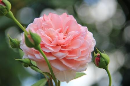 IMG_0125-rose3.jpg