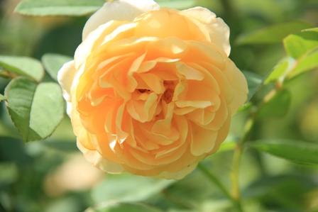 IMG_0135-rose6.jpg