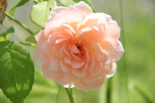 IMG_0161-rose6-1.jpg