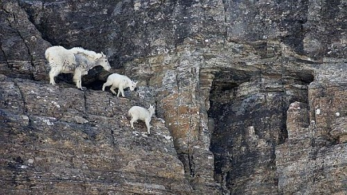 goat on the cliff
