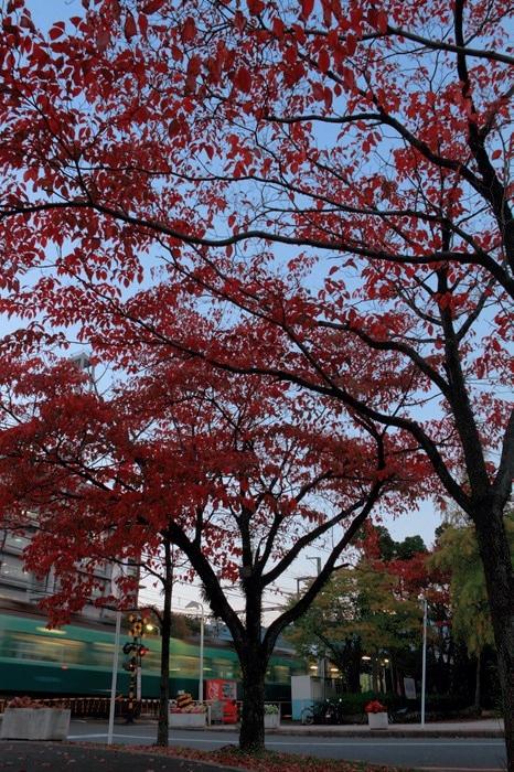 13.11.05 ハナミズキ 別所~三井寺 17-35f2.8L