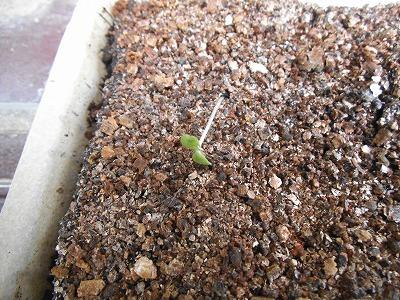 20131003echium_sprout01.jpg