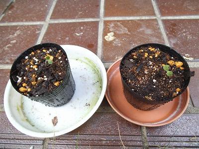 20131003echium_sprout02.jpg