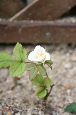 白バラ咲いた