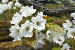 梨の花230502_3