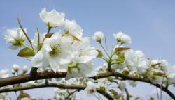 梨の花230502_1
