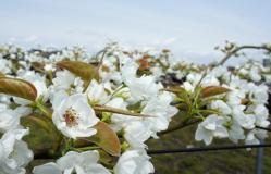 梨の花230502_2