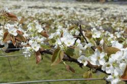 梨の花230502_4