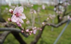 桃の花230424_1