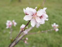 桃の花230424_2