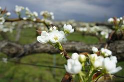 梨の花230424_1