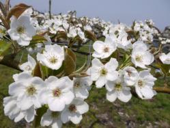 梨の花230427