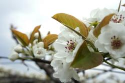 梨の花230429_1