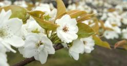 梨の花230429_2