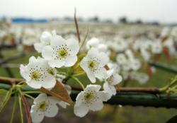 梨の花230430_1