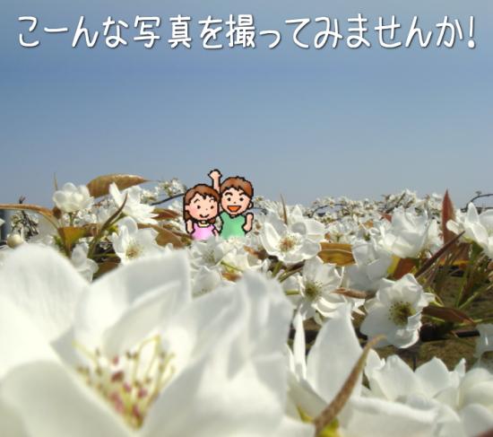 満開の梨の花で記念写真