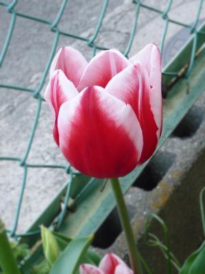 2011.04.17-赤のチューリップ01