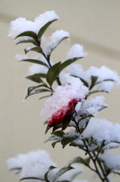 snow sazanka