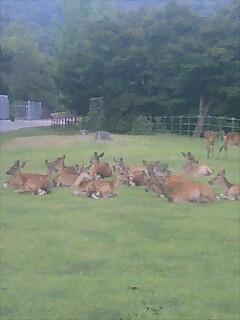 奈良の鹿の群れ